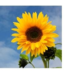 SonnenblumeQuadratRahmenNeu